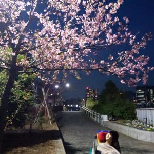 20190302 夜桜