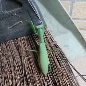 蟷螂に箒とられて・・・。