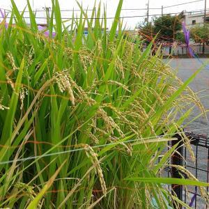 小学校の稲が実をつけてはいますが。。。