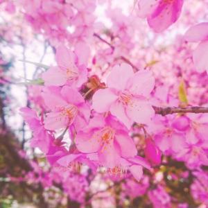 桜の季節がやって来た(*^^*)