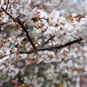 桜•さくら•サクラ