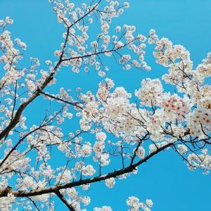 桜•サクラ•さくら〜