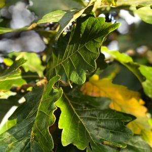 柏の木の話