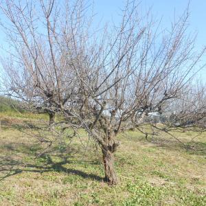 梅の木の剪定
