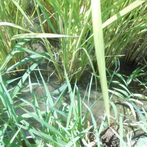 米の収穫前に