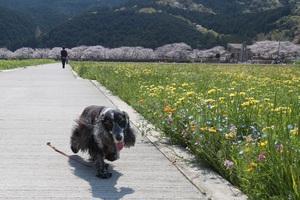 那賀川の桜は満開