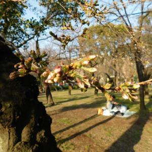 さくら さくら 弥生の空は・・名古屋 鶴舞公園