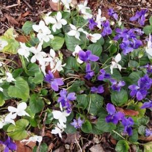 紫色の花と香りから、Sweet Violet///