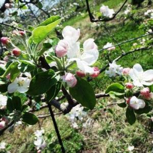 りんごの花は品種によって違う?