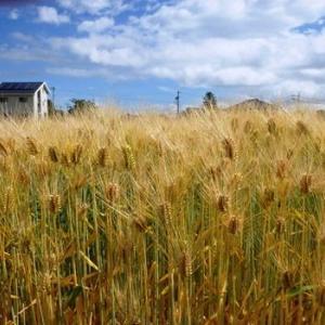 小麦と大麦、どちらが大きいかご存知ですか?