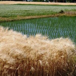 麦にとっての収穫の「秋」であることから・・田植え後の一番草?