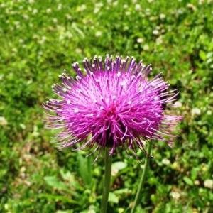 アザミ(薊)の花が咲く季節に~大瑠璃小灰蝶・・