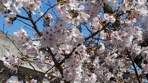 桜の季節なのに・・
