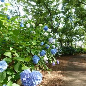 6月17日の花散歩(プチ)