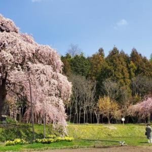 4月4日の桜巡り/横田陣屋の御殿桜 @福島県須賀川市