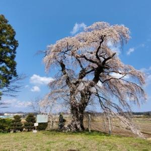 4月4日の桜巡り/古舘のサクラ @福島県須賀川市
