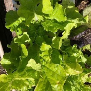 お庭で取れたレタスとトマトで