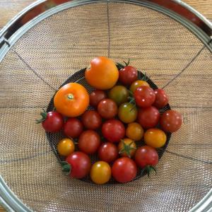 お庭で採れたトマトでお料理