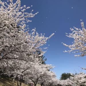 東北エプソンさんの桜並木は立派になっていた