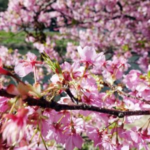 河津桜を見に河津へ。