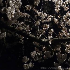 春分の日の夜の桜。