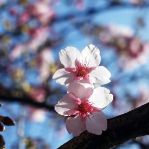 早春の河津桜など。