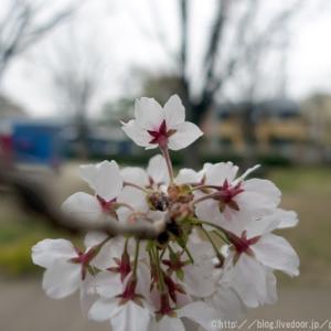 🌸 町内桜模様。🌸