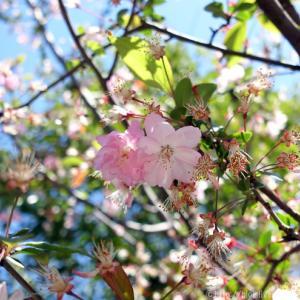 🌸 表情豊かな葉桜たち。🌸