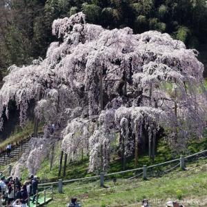 福島へ1。🌸 三春の雪桜。🌸