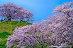 さきたま古墳公園の桜(埼玉県行田市佐間)