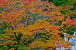 阿夫利神社の紅葉(神奈川県伊勢原市大山)