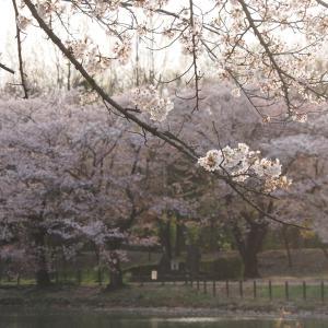 桜も見納めです