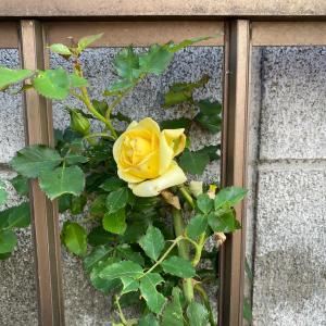 バラが咲いた~バラが咲いた~♪