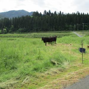 友人農家の放牧風景
