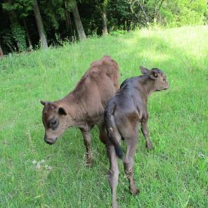 子牛の発育
