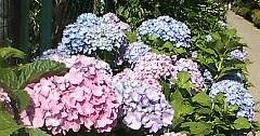 紫陽花と遊女と