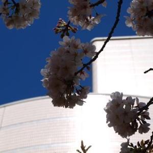 大田池田文化の桜2014