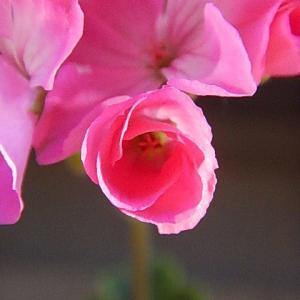 蕾が、開きだし花が満開に近付いてきました。