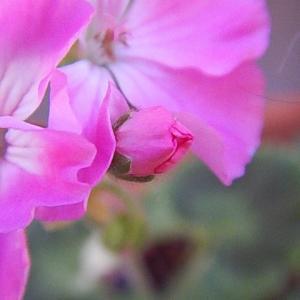 ピンク色の花は、満開に成りました。