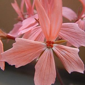 ピンク色の花は、咲き続けています。
