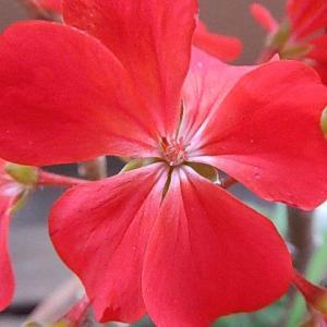 アカイ色の花は、満開に成ってきています。