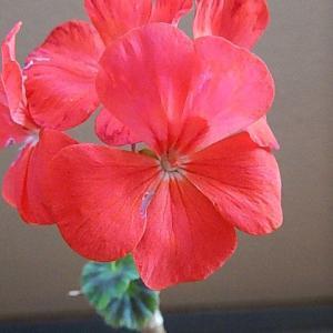 赤色の花も終わりに成ってきました。