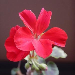 赤い花が咲き始めてきました。
