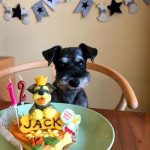 ミニシュナのジャック君が12歳を迎えました🎂