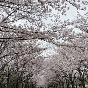 県立公園桜2019