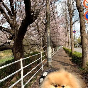 平成の桜見納め
