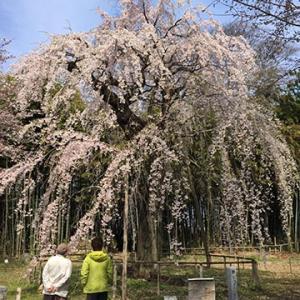 桜の見ごろはまだ先か?
