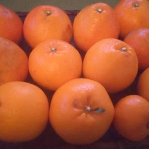 愛媛色々柑橘
