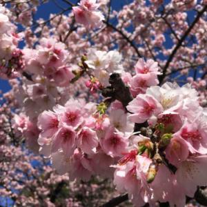 上野公園  大寒緋桜