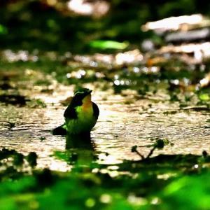 水場のキビタキ